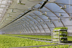 Growing lettuce in a greenhouse Stock Photo