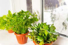 Growing lettuce at home in a pot on a window. Selective focus. Copy space royalty free stock photography