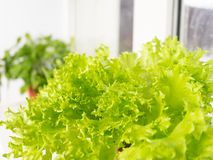 Growing lettuce at home in a pot on a window. Selective focus. Copy space stock photos