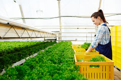 Growing lettuce for market Stock Photos