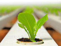 Growing Lettuce in rows. In the vegetable garden Stock Photos