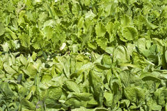 Growing lettuce in rows in the vegetable garden Stock Images