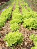 Growing lettuce Stock Image