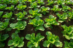 Growing lettuce in rows in the vegetable garden Stock Photos