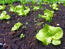 Growing lettuce Stock Images