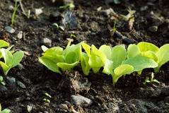 Growing lettuce Royalty Free Stock Photo