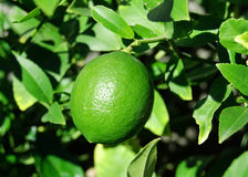 Growing lime. A lime still growing on the tree Royalty Free Stock Photos