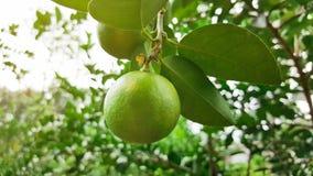 Growing lime in garden Royalty Free Stock Photos
