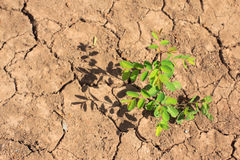 Growing little tree on dry and crack soil. Dry soil with a little tree growing with shadow Royalty Free Stock Photography