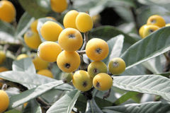 Growing  loquat  Stock Images
