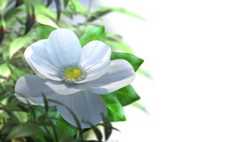 Growing magnolia flower time lapse animated background stock video
