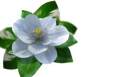 Growing magnolia flower time lapse isolate stock video footage