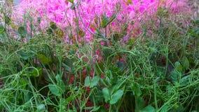 Pea Microgreen Shoots in grow lights royalty free stock photos