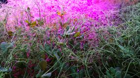 Pea Microgreen Shoots in grow lights stock images