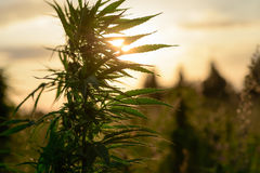 Growing marijuana in field. Leaves marijuana plants on a background of sunset sky Stock Image