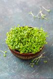 Growing micro-greens in a bowl Stock Photography