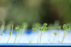 Growing microgreens with seed leaf or cotyledon. Growing microgreens with seed leaf or cotyledon blurred green background Stock Photo