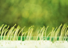 Growing microgreens with seed leaf or cotyledon on green bokeh. Stock Image