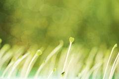 Growing microgreens with seed leaf or cotyledon in heart shape on green bokeh Royalty Free Stock Images