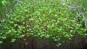 Growing Microgreens Stock Photos