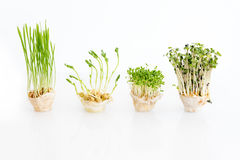 Growing microgreens on white background with free space for text. Healthy eating concept of fresh garden produce Stock Photography
