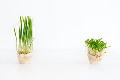 Growing microgreens on white background with free space for text. Healthy eating concept of fresh garden produce Stock Image
