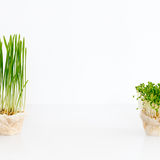 Growing microgreens on white background with free space for text. Healthy eating concept of fresh garden produce Royalty Free Stock Images