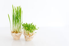 Growing microgreens on white background with free space for text. Healthy eating concept of fresh garden produce Royalty Free Stock Image