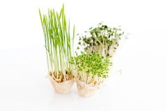 Growing microgreens on white background. Healthy eating concept of fresh garden produce organically grown as a symbol of Stock Images