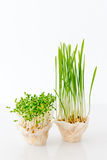 Growing microgreens on white background. Healthy eating concept of fresh garden produce organically grown as a symbol of Royalty Free Stock Photo