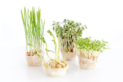 Growing microgreens on white background. Healthy eating concept of fresh garden produce organically grown as a symbol of Royalty Free Stock Photos