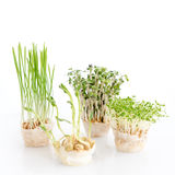 Growing microgreens on white background. Healthy eating concept of fresh garden produce organically grown as a symbol of Stock Image