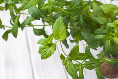 Growing mint Fresh as Royalty Free Stock Photo