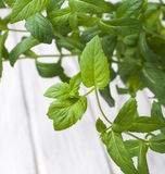 Growing mint Fresh as Stock Photography