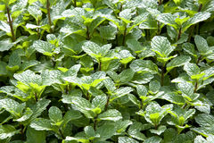 Growing Mint Leaves Royalty Free Stock Image