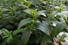 Growing mint leaves background Stock Images