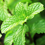 Growing mint leaves in garden Royalty Free Stock Images