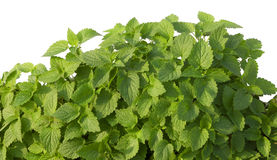 Growing mint leaves isolated on white Stock Photo