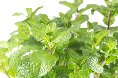 Growing mint leaves Stock Photography