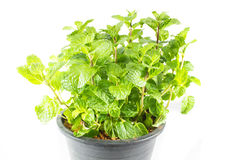 Growing mint leaves Stock Photo