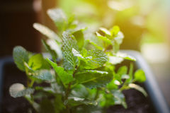 Growing mint leaves Royalty Free Stock Photos