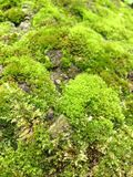 Growing Moss Stock Image