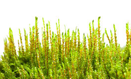Growing moss Stock Images