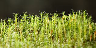 Growing moss Royalty Free Stock Photo
