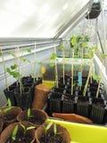 Growing multiple vegetable seedlings indoors royalty free stock images