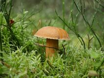 Growing mushroom  boletus variegatus Stock Images
