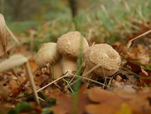 Growing mushroom fuzz-ball  in forest. Growing mushroom fuzz-ball in forest Stock Photography