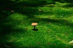 Growing a mushroom from moss garden, Japan. Stock Photography