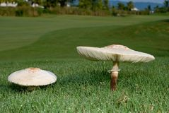 Growing Mushrooms. Mushrooms groing along side of a golf course. Grass wet with morning dew. Sure to be a temptation for some golfers Royalty Free Stock Photo