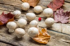Growing  mushrooms with fall leaves on wooden board. Royalty Free Stock Photos